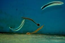 MORSKA RIBA Doryrhamphus excisus