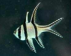 MORSKA RIBA Pteropogon kauderi