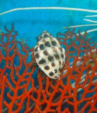 MORSKI RAK Hermite crab