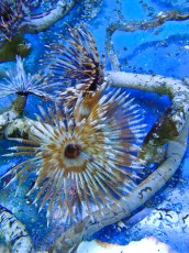 TUBE WORM Crv tube