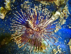 TUBE WORM Sabella brown