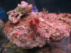 ziv morski kamen - Kenia