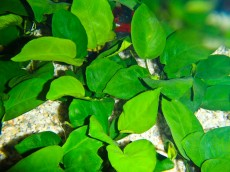 anubia - tropske rastline