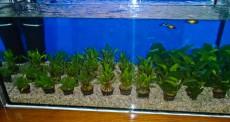 rastline za akvarij