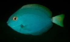 Acanthurus albipectoralis
