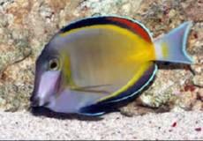 Acanthurus glaucopareius