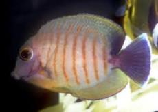 Acanthurus tristis