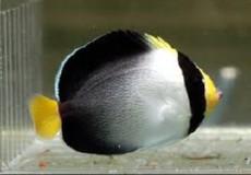 Chaetodontoplus mesoleucus