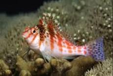 Cirrhitichthys solorensis