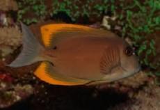 Ctenochaetus tominiensis