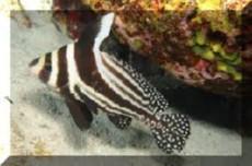 Equetus Lanceolatus adult