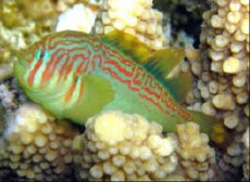 Gobiodon atrangulatus