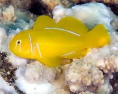 Gobiodon citrinus