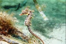 Hippocampus breviceps