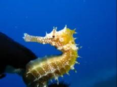 Hippocampus jayakari