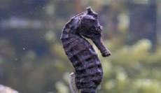 Hippocampus kelloggi