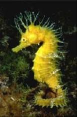 Hippocampus minotaur