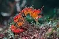 Hippocampus sindonis