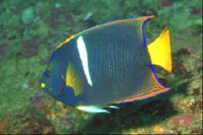 Holacanthus passer adult