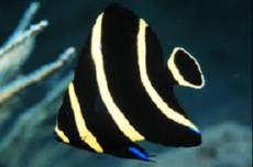 Pomacanthus paru juwel