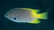 Pomacentrus nigromarginatus