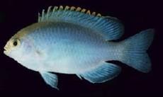Pomacentrus smithi