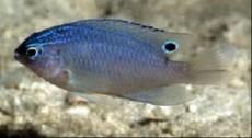 Pomacentrus tripunctatus
