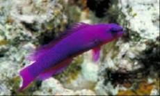 Pseudochromis fridmani SAMEC