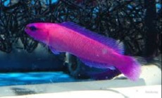 Pseudochromis fridmani SAMICKA