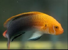 Pseudochromis steenei