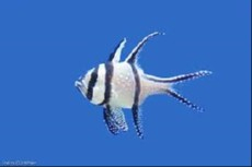 Pterapogon kauderi