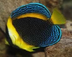 chaetodontoplus meredithi