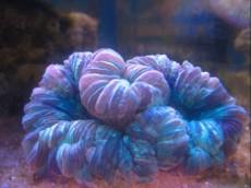 LPS Cynarina blue