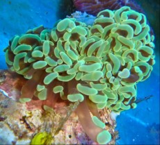 LPS Euphyllia green small