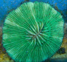 LPS FUNGIA GREEN PINK