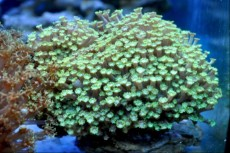 LPS Goniopora short green