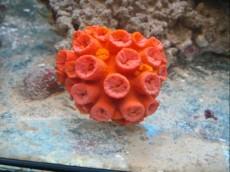 LPS Tubastrea orange