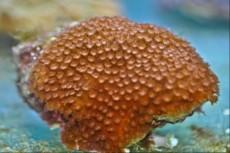 LPS alveopora orange