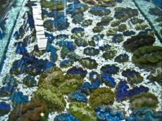 MORSKA SKOLJKA Tridacna blue