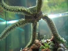 MORSKA ZVEZDA kacjerepa morska zvezda XL