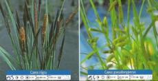 Carex Nigra in Pseudocyperus