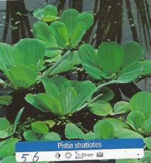 Plavajoca rastlina - Pistia Stratiotes