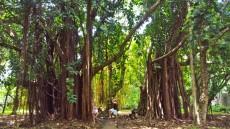 Pamplemousses botanic garden