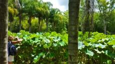 Pamplemousses nasad lotosov