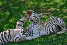igra tigrov