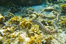 morska kaca