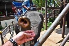 hranjenje slonov