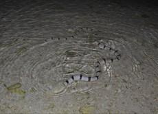 Myrichthys colubrinus - morska kaca