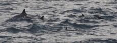 jata delfinov