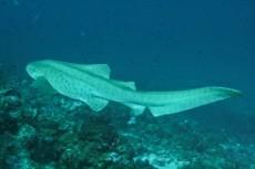 morski pes Maldivi